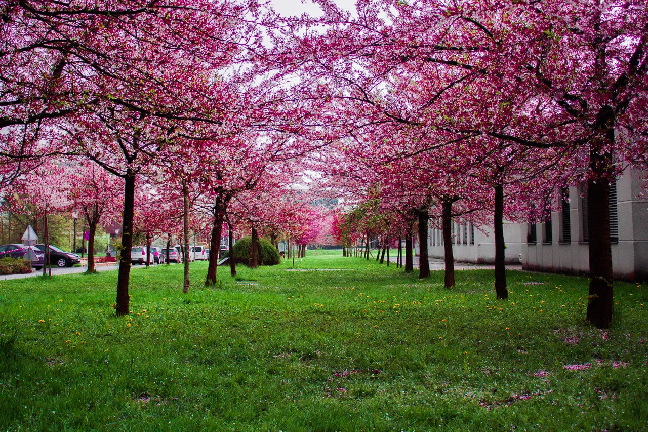 Toronto Cherry Blossoms